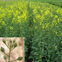 camelina plant for biofuel production