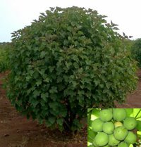 jatropha plant for jet biofuels